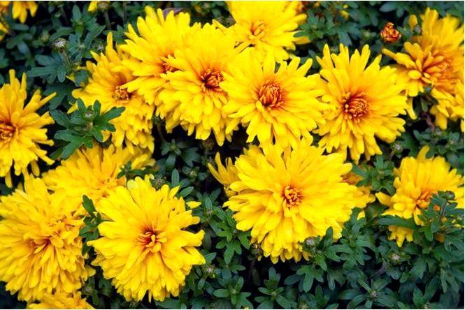 Хризантема крупноцветковая — dendranthema grandiflora
