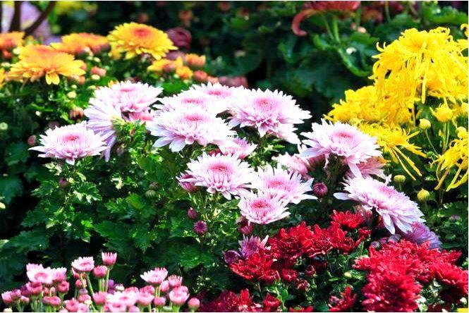 Хризантемы — осенние цветы