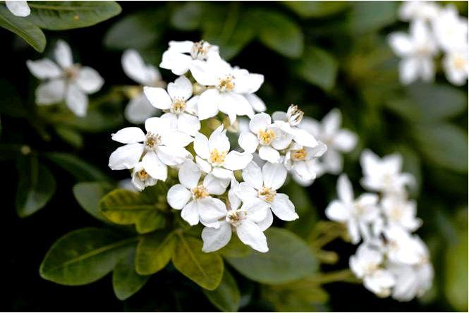 Czojsia trifoliata — choisya ternata