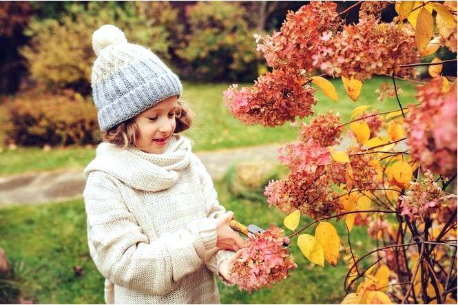 Нужно ли подрезать гортензии перед зимой, нужно ли обрезать соцветия гортензии перед зимой?