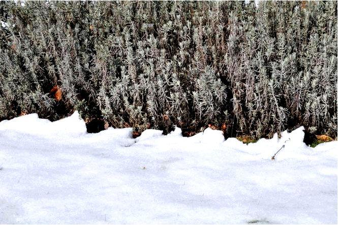 Лаванда должна покрыть раньше зимой