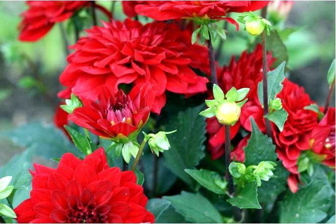 Георгин садовый — dahlia × cultorum