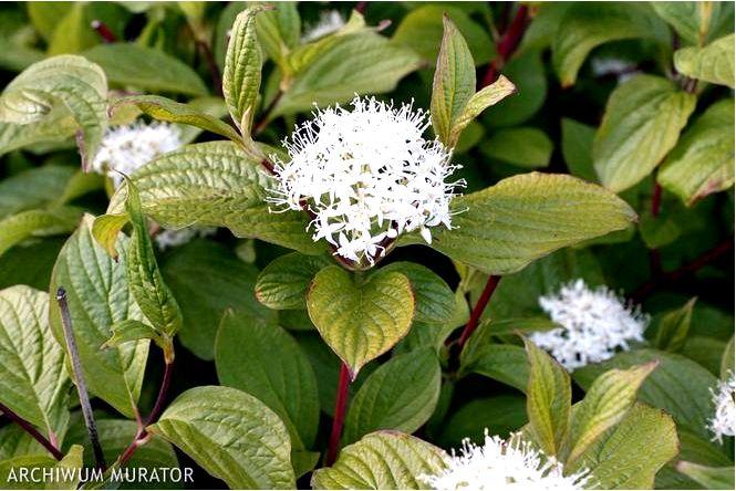 Кизил белый; сибирика; cornus alba; сибирика