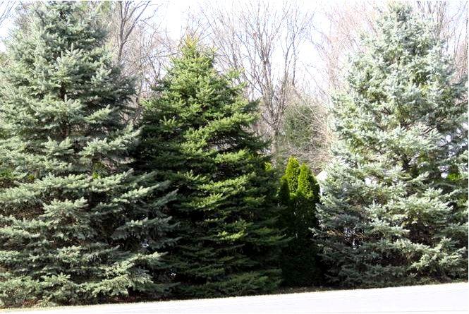 Хвойные деревья для вашего сада