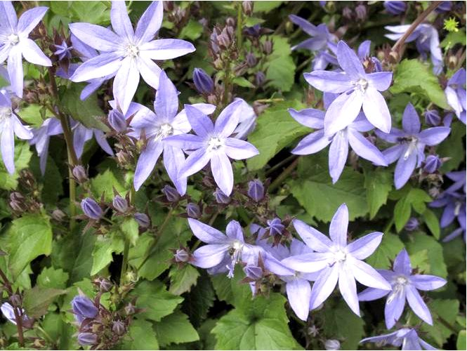 Колокольчики (campanula) — виды колоколов, выращивание и использование колоколов в саду