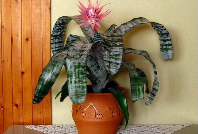 Лента эхмея — aechmea fasciata
