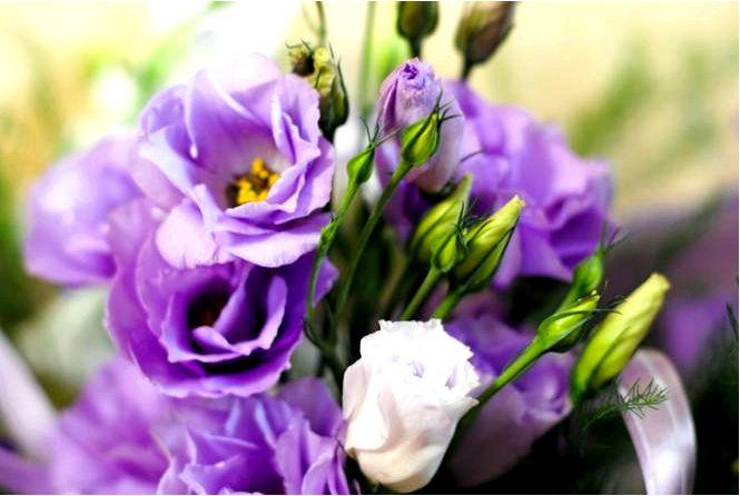Эустома крупноцветковая — eustoma grandiflorum