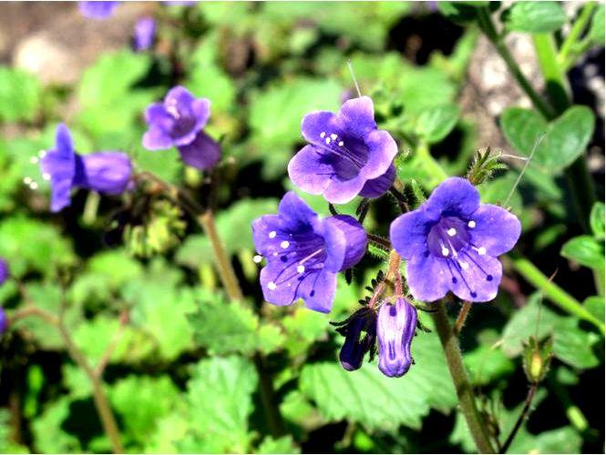 Phacelia campanularia — phacelia campanularia