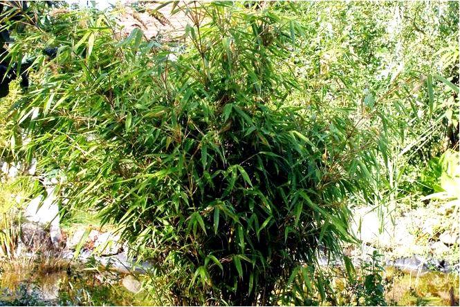 Ржавчина фаргезия — fargesia stern