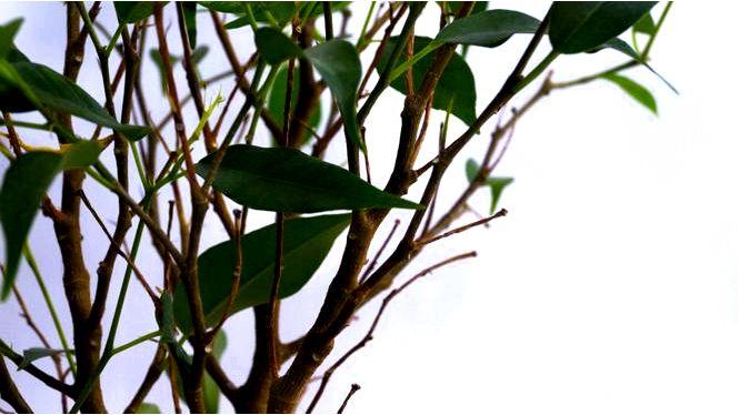 Фикус бенджамина — что делать, чтобы листья не опадали
