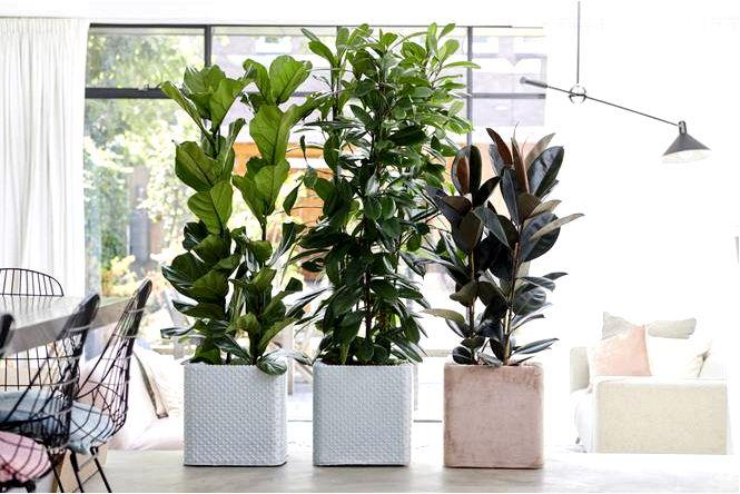 Фикусы (фиговые деревья) — всегда модные комнатные растения