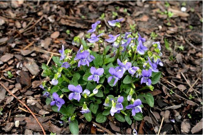 Ароматная фиалка — viola odorata