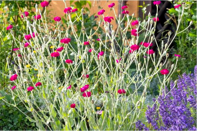 Фиалка цветочная — silene coronaria