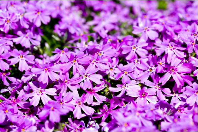 Флоксы — пышно цветущие растения