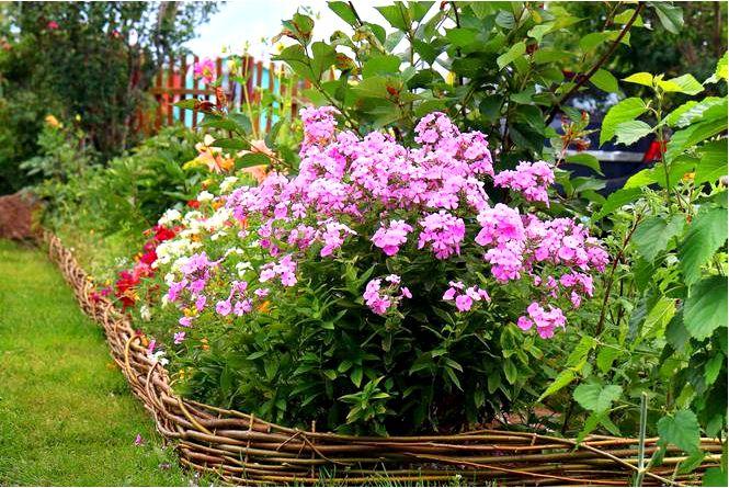 Флоксы метельчатые — цветы не только для дачного сада