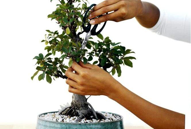 Формирование деревьев бонсай