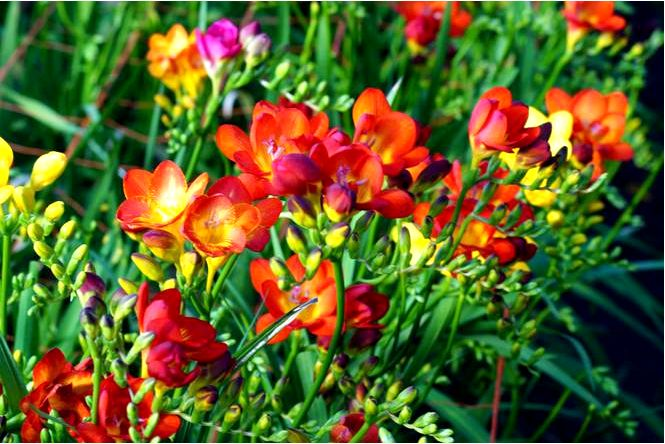 Садовая фрезия — freesia hybrida