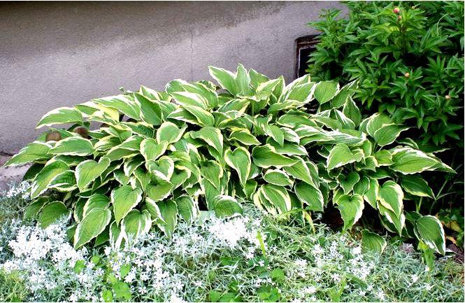 Волнистая фанкия; альбомаргината; hosta undulata; альбомаргината