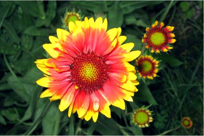 Гардия садовая — gaillardia hybrida