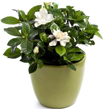 Gardenia jasminoides — гардения жасминоидесная