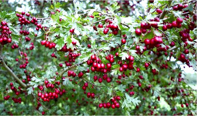 Виды боярышника для посадки в саду, требования, выращивание и уход