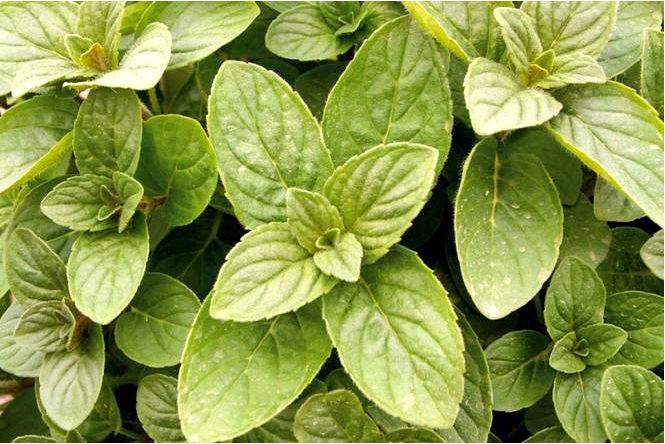 Виды и сорта мяты для выращивания в саду и на балконе