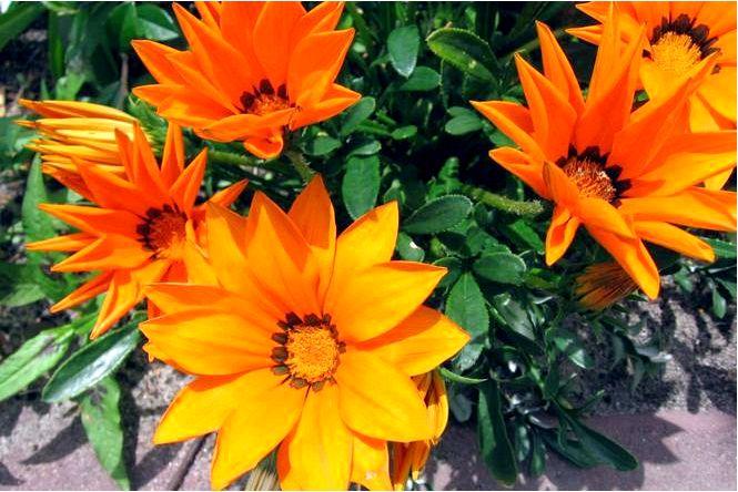 Газания сияющая — gazania × splendens