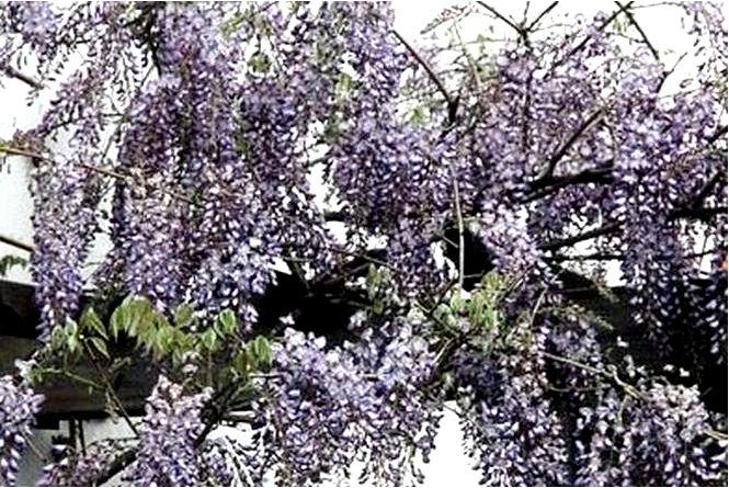 Китайская глициния; плодовитый; wisteria sinensis; профилик