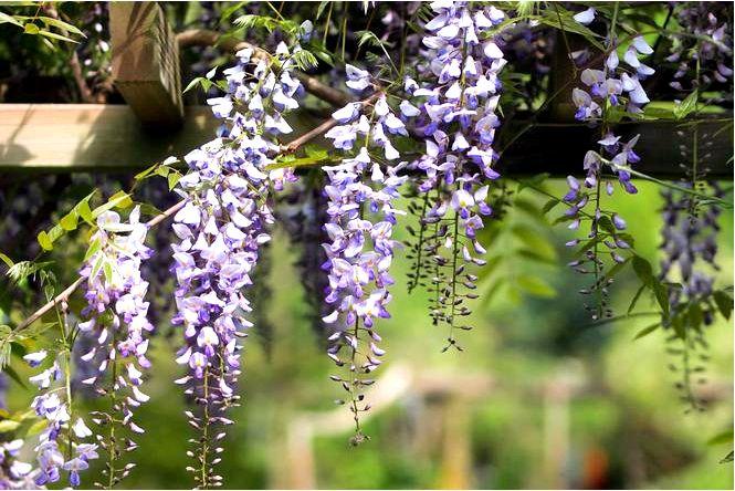 Цветок глицинии — срезанный