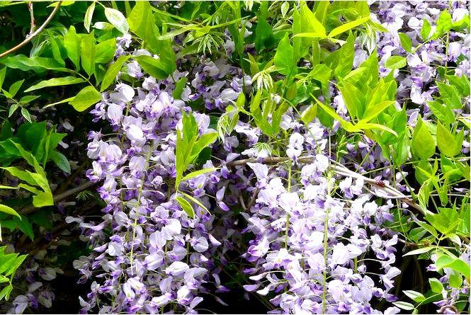 Глициния флорибунда — wisteria floribunda