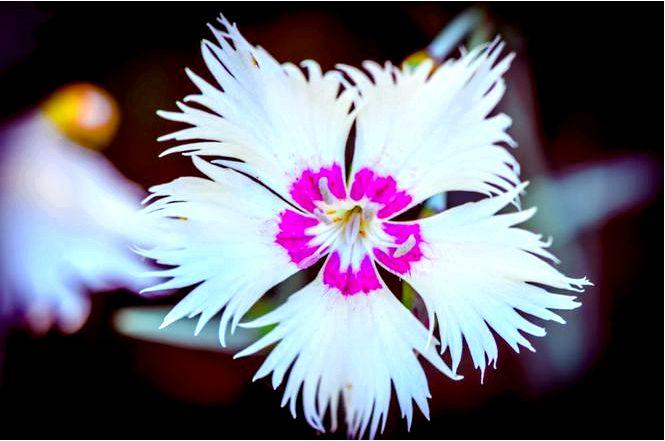 Гвоздика монпельская — dianthus monspessulans