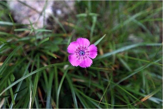 Гвоздика трансильванская — dianthus callizonus
