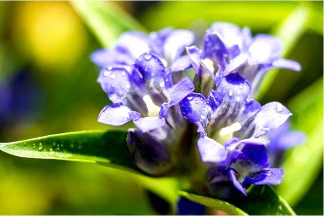 Даурская горечь — gentiana dahurica