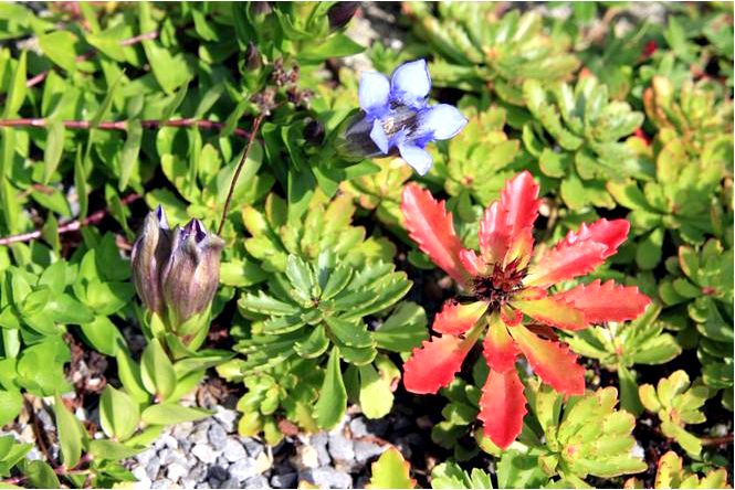 Семиколонная горечь — gentiana septemfida