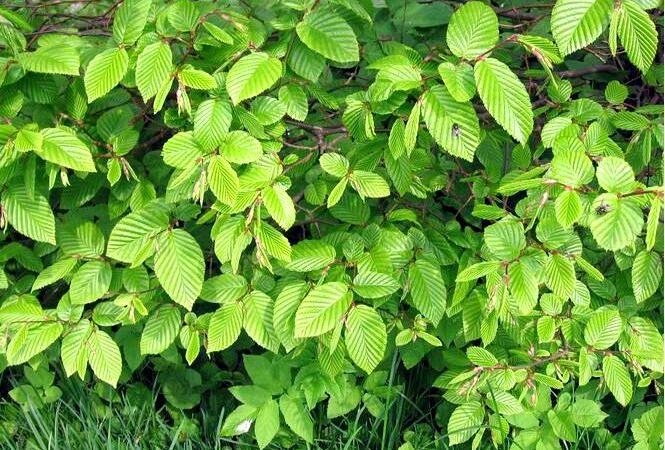 Граб — carpinus betulus