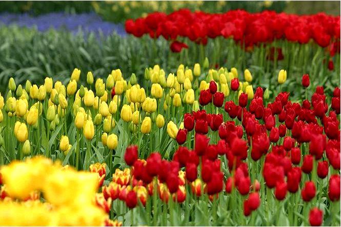 Группы тюльпанов