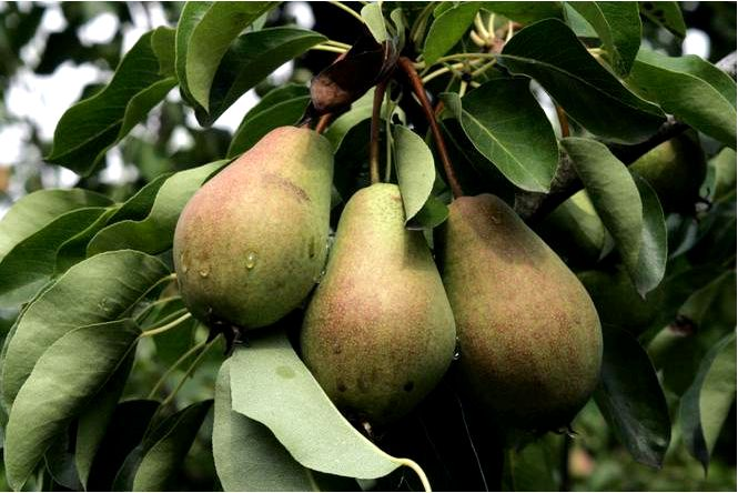 Грушевое дерево; фаворит; (; клапса;) — pyrus communis