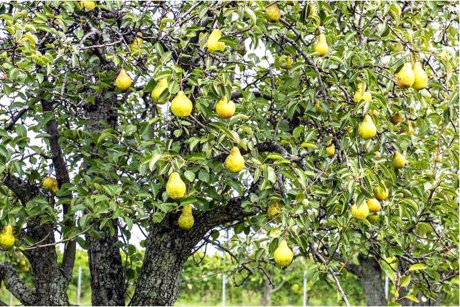 Грушевое дерево — pyrus communis
