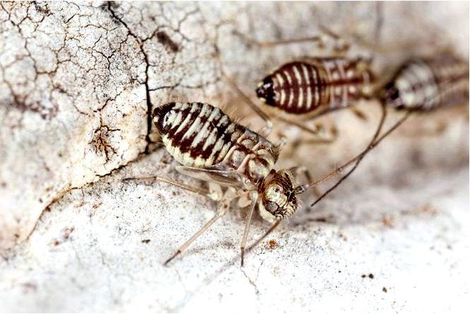 Грызки (шутник, креветка) в домашних условиях как избавиться от прорезывателя