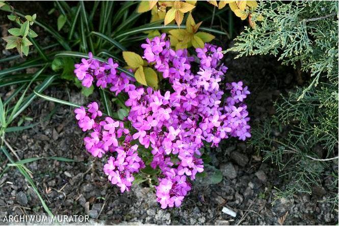 Ресничный гусь — arabis blepharophylla