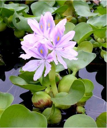 Водяной гиацинт эйхорния толстохвостая — eichhornia crassipes