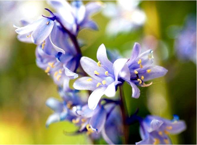 Колокольчик гиацинт — hyacinthoides hipanica