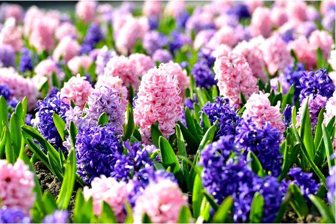 Гиацинты — луковицы весеннего цветения