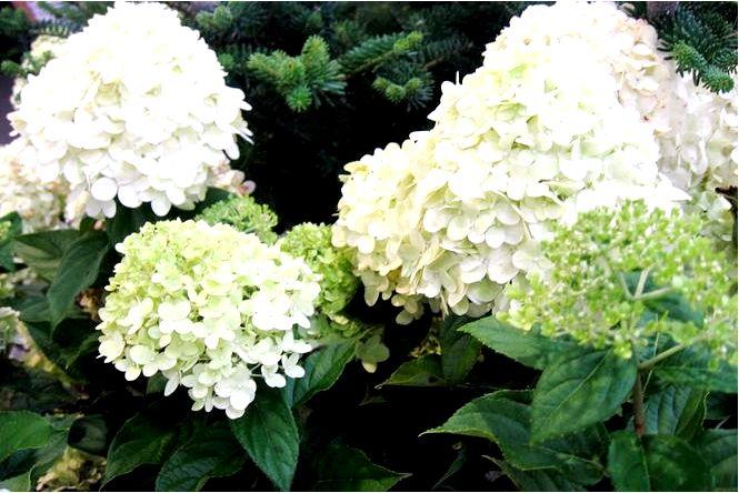 Букет hydrangea limelight — гортензия метельчатая; limelight
