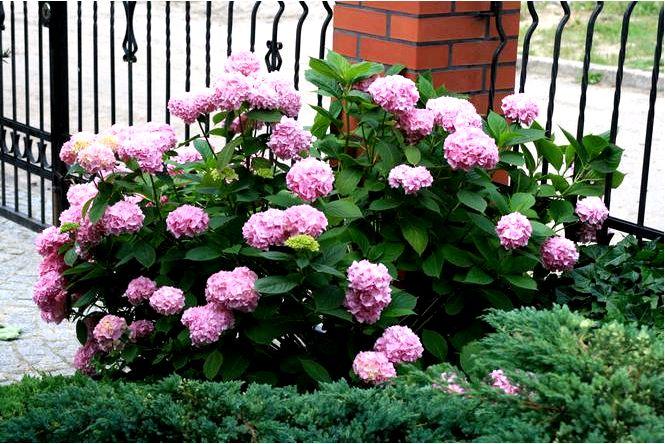 Гортензия садовая — hydrangea macrophylla