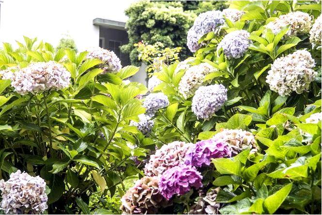 Садовая гортензия выращивание, обрезка, уход за гортензией в саду