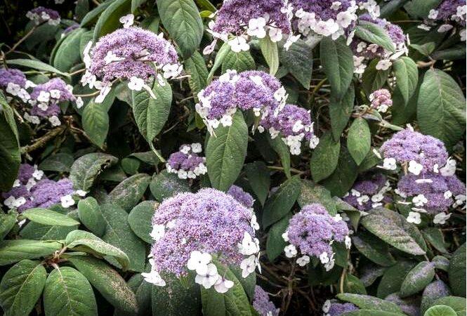 Мшистая гортензия волосатая гортензия — hydrangea aspera