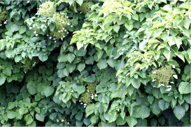 Гортензия плетистая — hydrangea anomala subsp