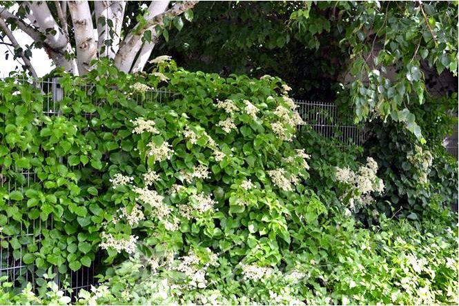 Гортензия плетистая и вика японская — идеальные растения для затененных мест! видео