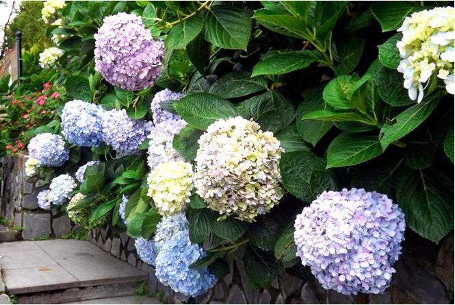 Гортензии для сада — самые популярные виды гортензий, высаживаемых в садах